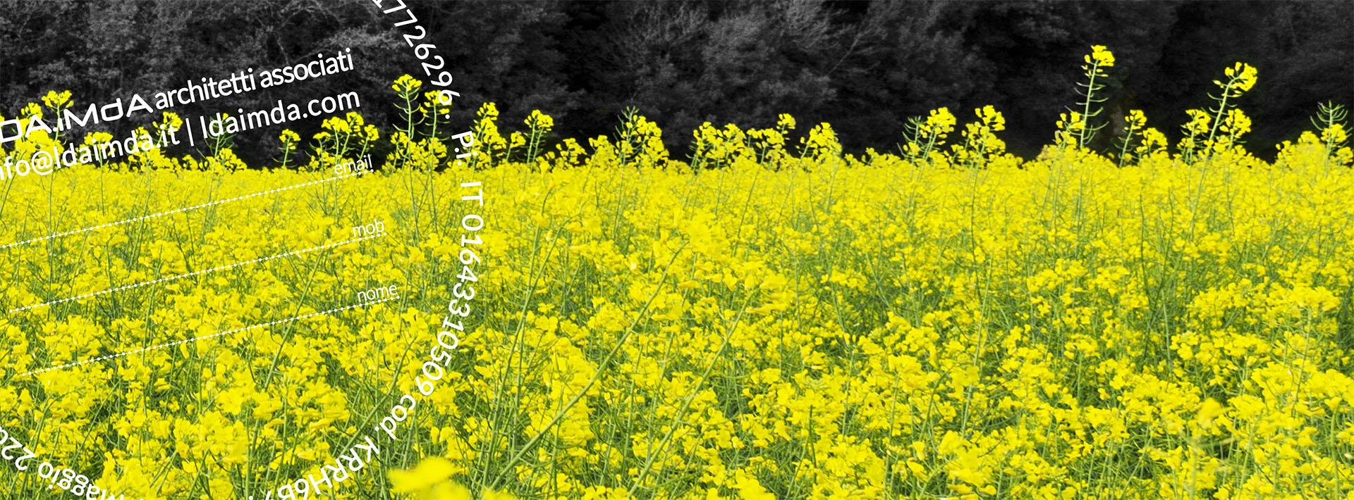 fotografia di un campo di colza fiorita a San Miniato